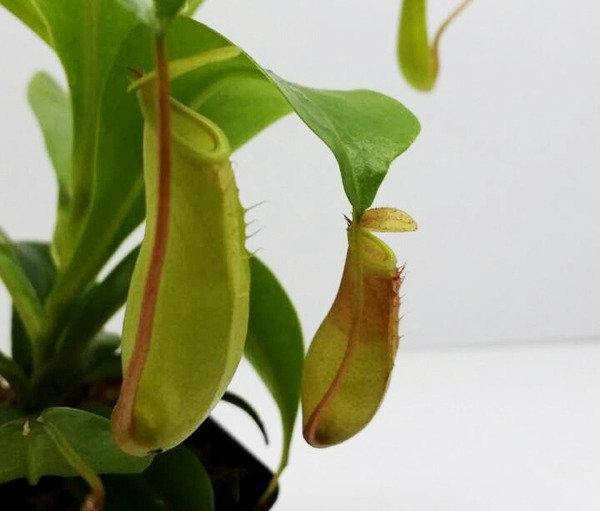ポピュラーな食虫植物「ウツボカズラ」を育ててみる