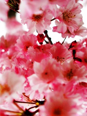 桜リングピロー