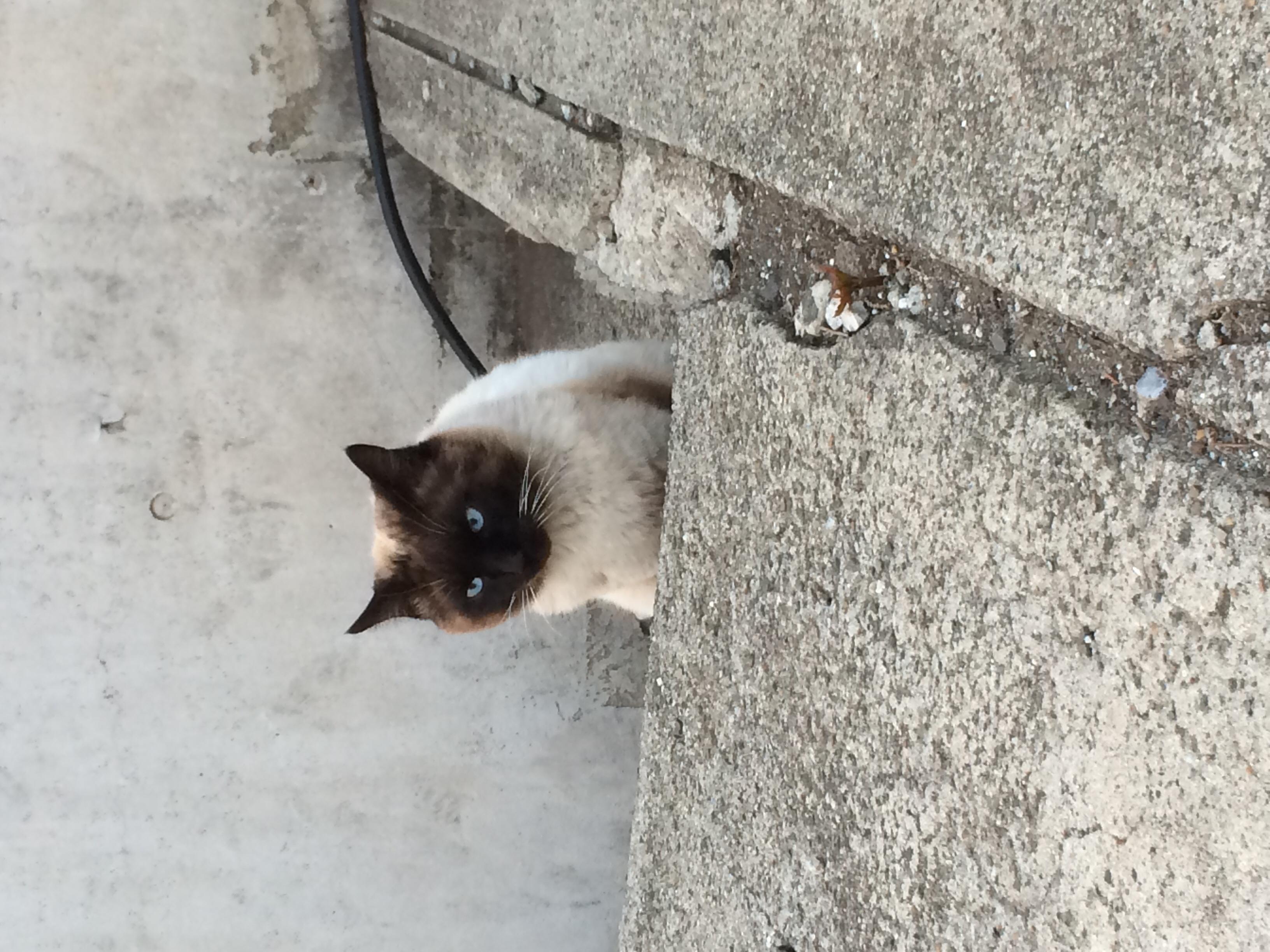 最近、近所を巡回し始めたノラちゃん      タヌキみたいな猫でウワサになっているようです(^.^)