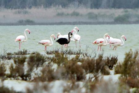 「世界でたった一羽」の黒フラミンゴ、地中海で発見