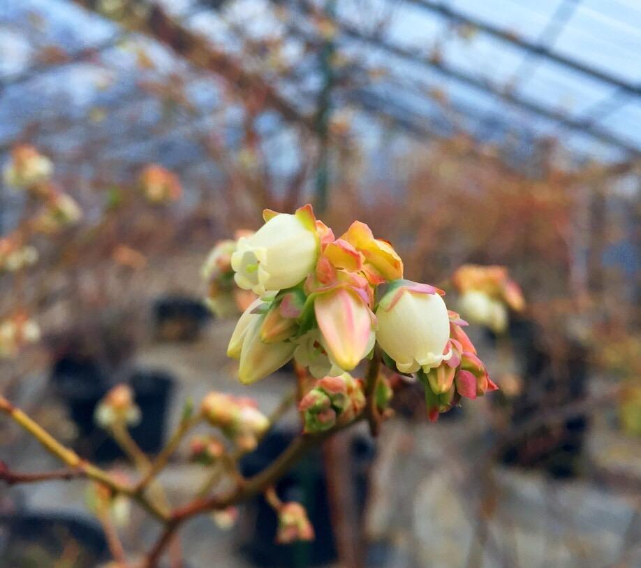 ブルーベリーの花が開花しました☺︎