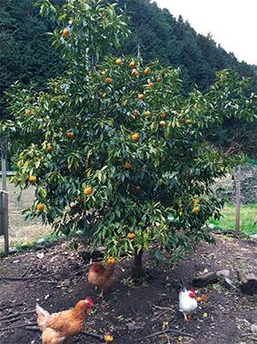 コッコちゃんの黄色い柚子マーマレード