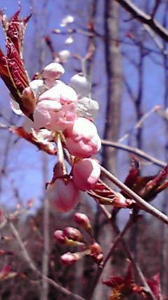 夢ではなく、目覚めた瞬間、桃の花が頭に浮かび