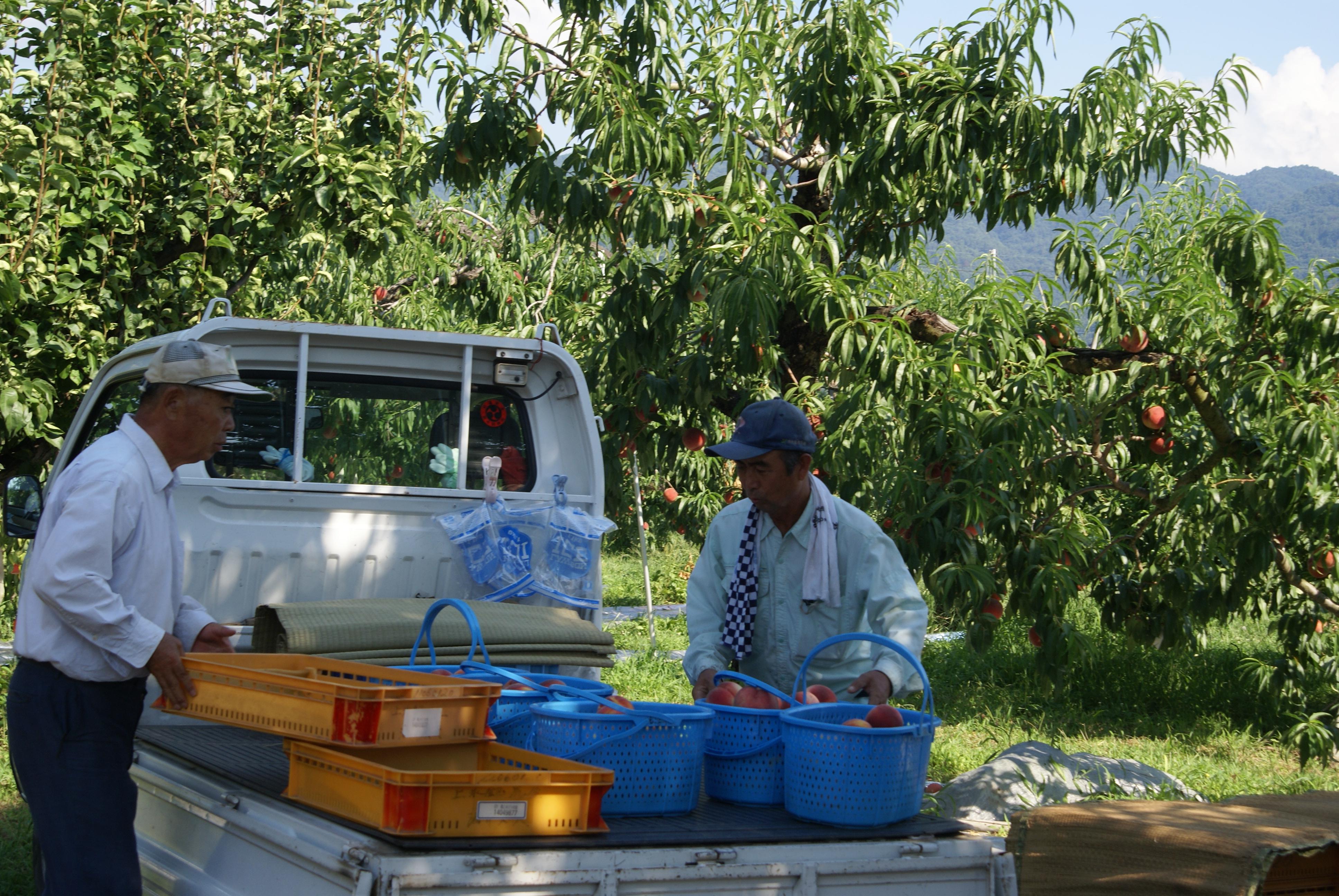 桃の収穫がピークになっております!!