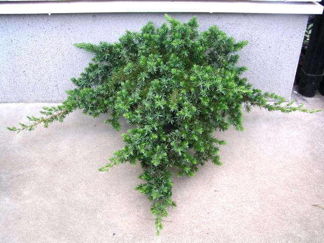"""ハイネズ """"ブルーパシフィック"""":緑色で密に地面を覆う匍匐性コニファー"""