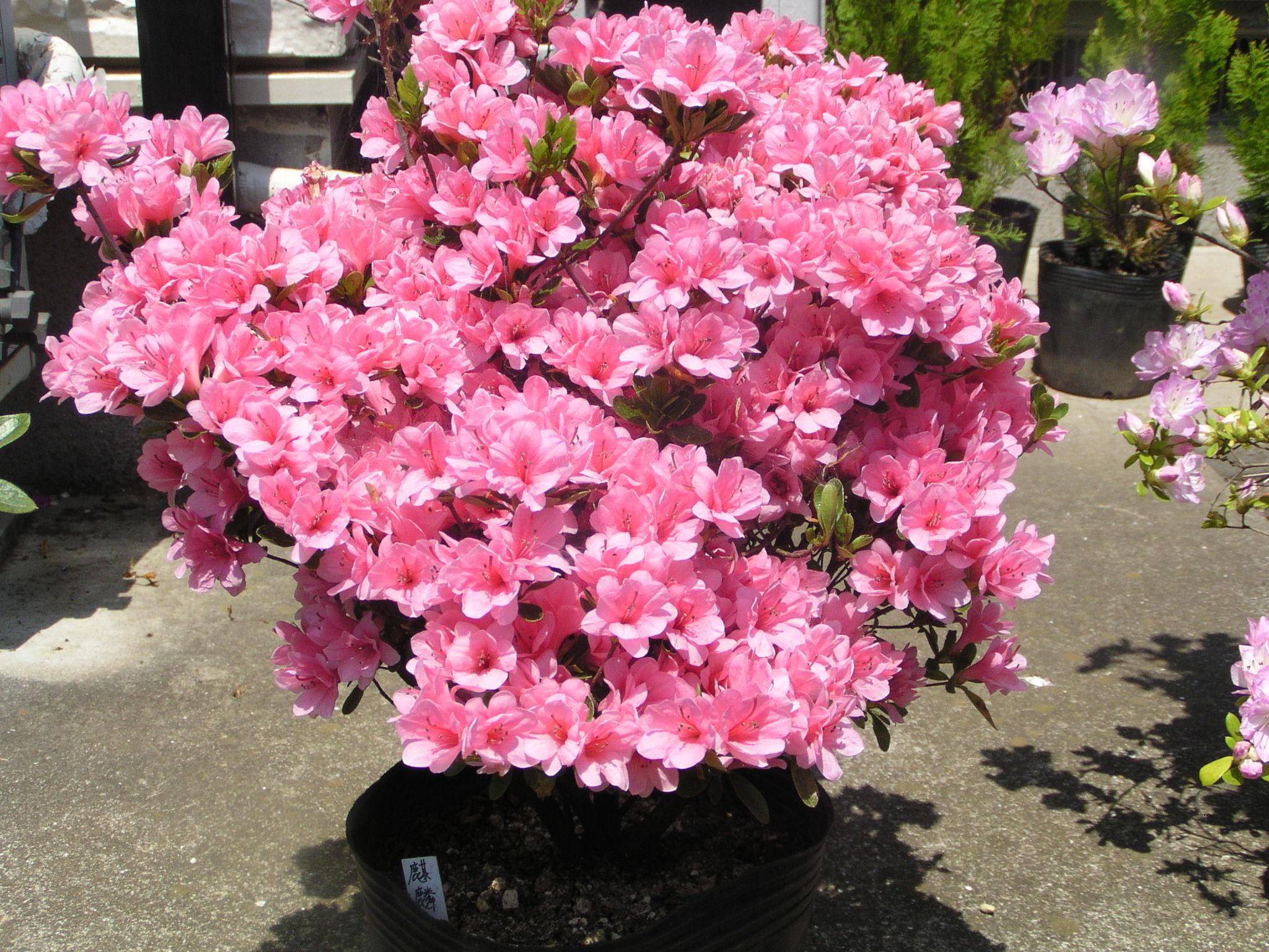 Rhododendron Collection:ツツジ・サツキ・アザレア・シャクナゲ 開花写真集
