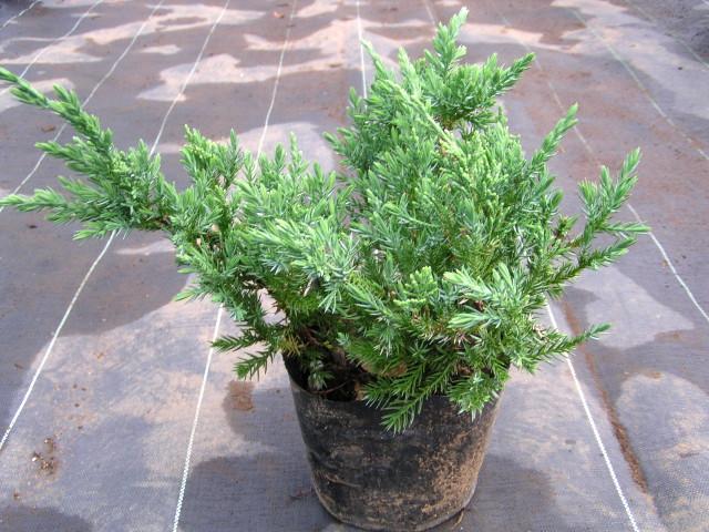 ハイビャクシン(ソナレ):海岸に自生する緑色の匍匐性コニファー