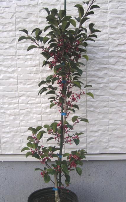 クロガネモチ:赤い実、濃緑色の葉、黒色を帯びた紫色の若い枝や葉の軸、滑らかな灰白色の幹が美しい縁起木