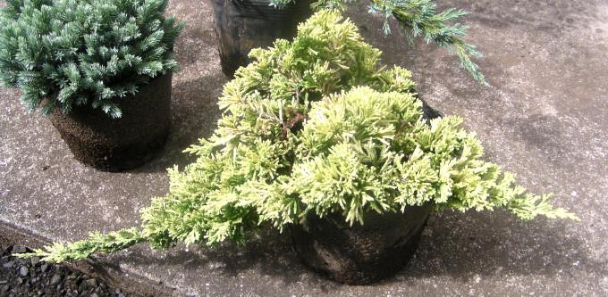 """アメリカハイビャクシン """"マザーローデ"""":黄金色で地面を密に覆い、下段へ枝垂れるグラウンドカバー"""