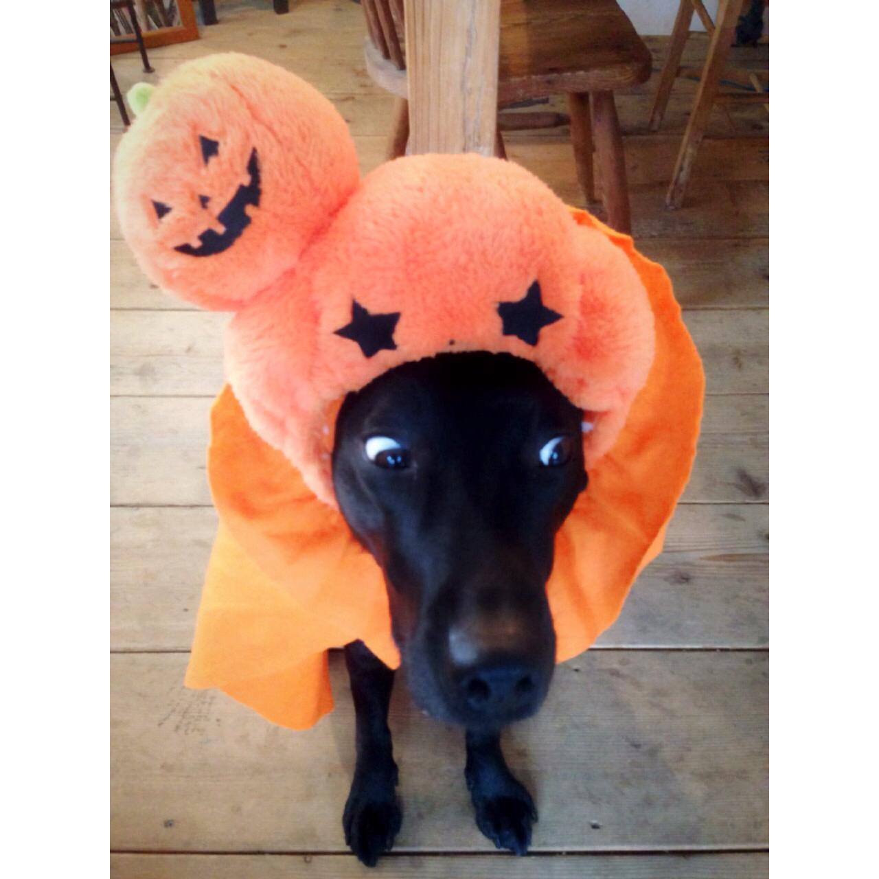 日本でも年々過熱しているHalloween!スタジオレオンさん看板犬ANNEちゃん♡可愛かった‼︎